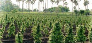 Big pharma moves into Cannabis